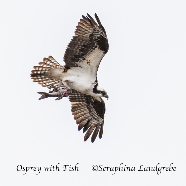_DSC1473Osprey with fish.jpg