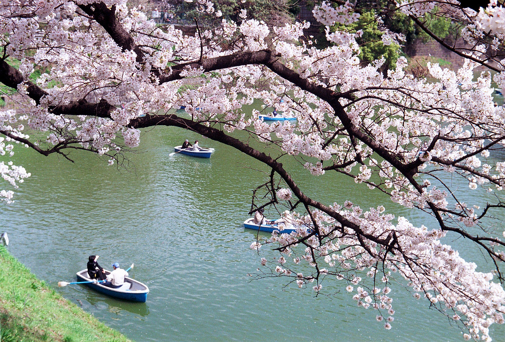 Sakura season boating at Chidorigafuchi Moat.