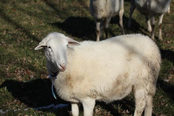 Sheep Nov. 2013
