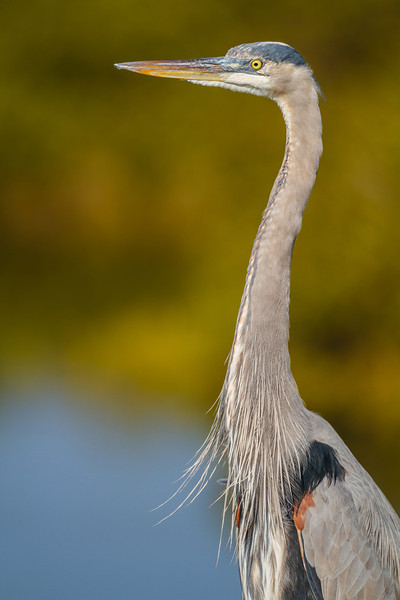 Great Blue Heron, Merritt Island NWR