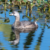 Pied-billed Grebe, Green Cay Wetlands