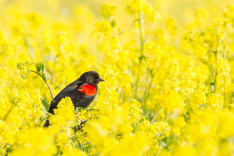 Red-winged Blackbird - USA