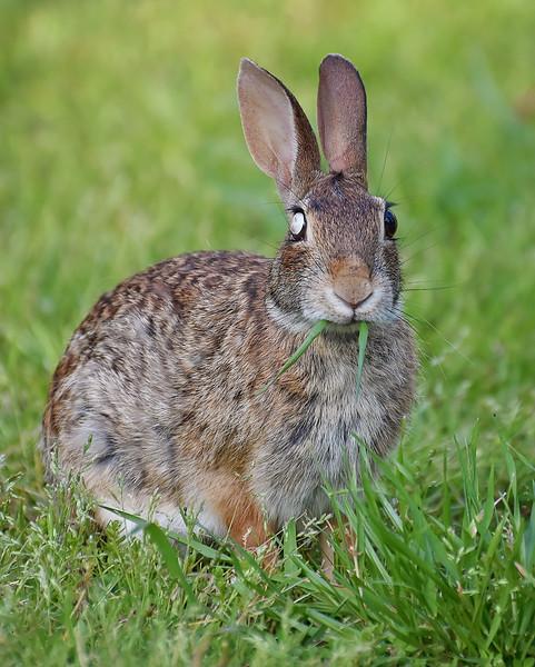 My cute little blind(in one eye) yard bunny!!