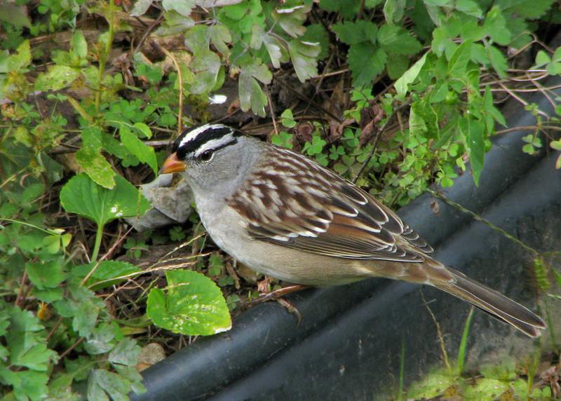 white_crowned_sparrow_3094.jpg