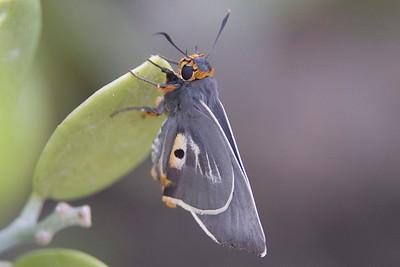 Coeliades anchises