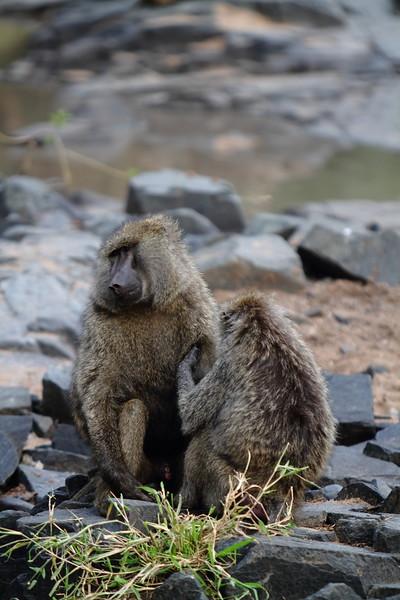 Baboons Grooming.JPG