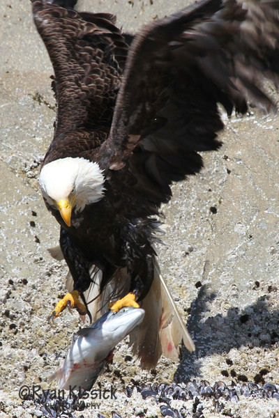 Bald eagle trying to take flight with a large salmon