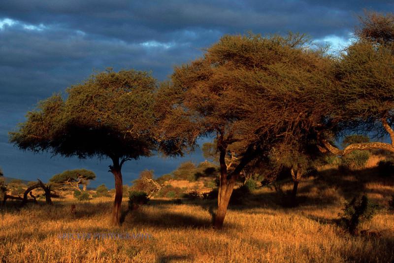 Trees Lighted in Africa.jpg