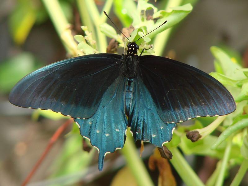 Pipevine Swallowtail (Battus philenor) male. TX: Tarrant Co. (Duhons' Fort Worth yard), 20 August 2008.