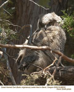 Great Horned Owl N68032 .jpg