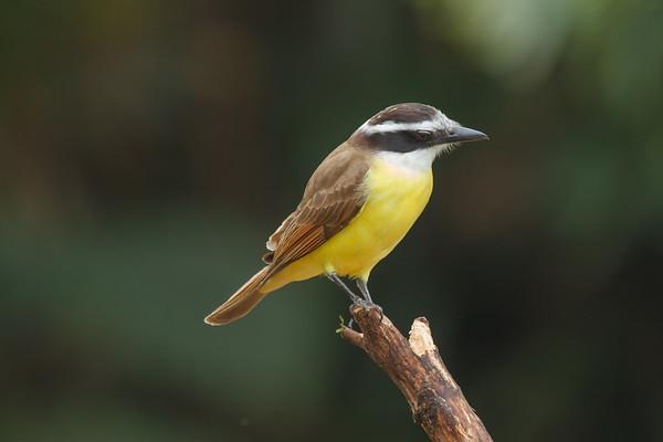 Neotropical (Brazil, Costa Rica,...)