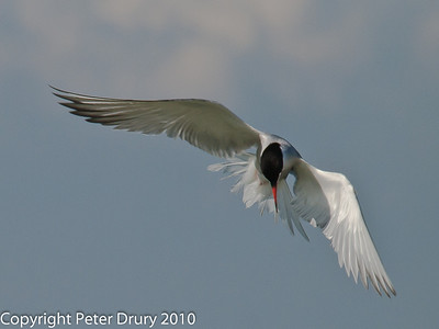 The Oysterbeds Wildlife Site - Common Tern Story