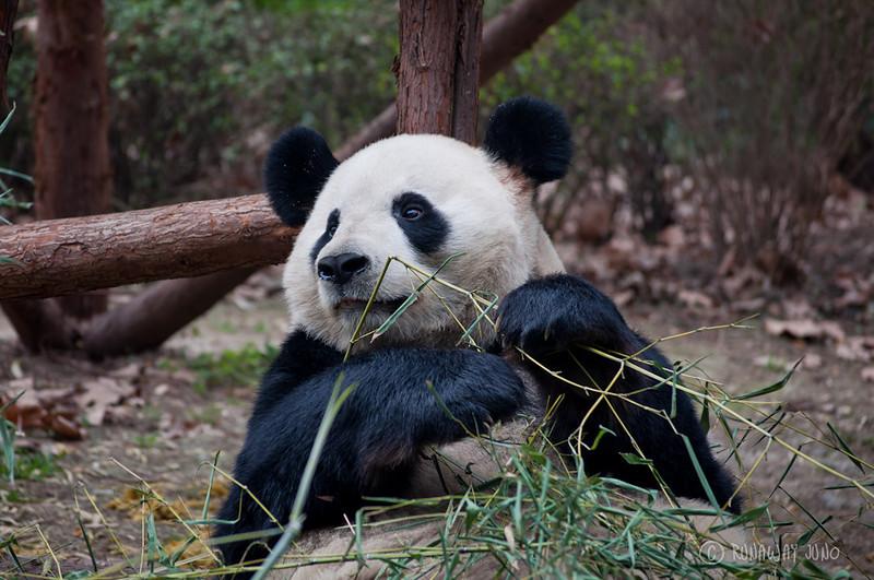 Giant_Panda_looking_Chengdu_Sichuan_China.jpg