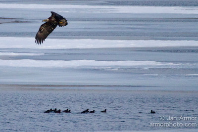 Bald Eagles Hunting Coots