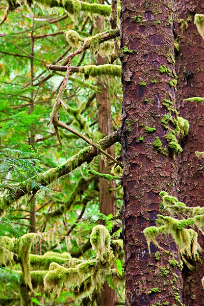 Sitka Spruce, Picea sitchensis with moss and lichen draped on its branches along the trail to San Josef Bay in Cape Scott Provincial Park, Northern Vancouver Island, Vancouver Island, British Columbia, Canada.