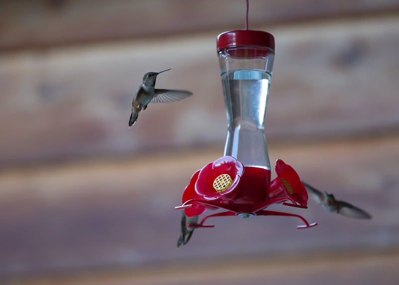 humming bird (43 of 55).jpg
