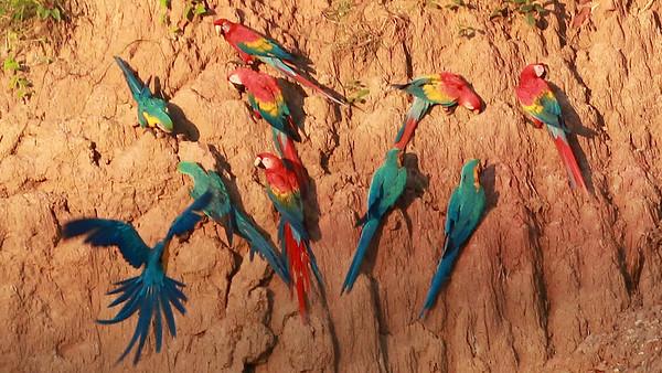 macaws in southeastern Peru