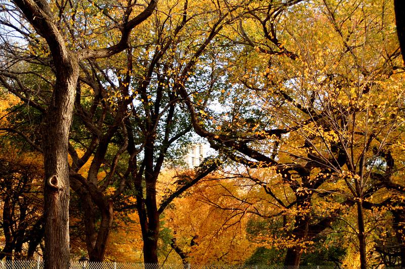yellowtrees2.JPG