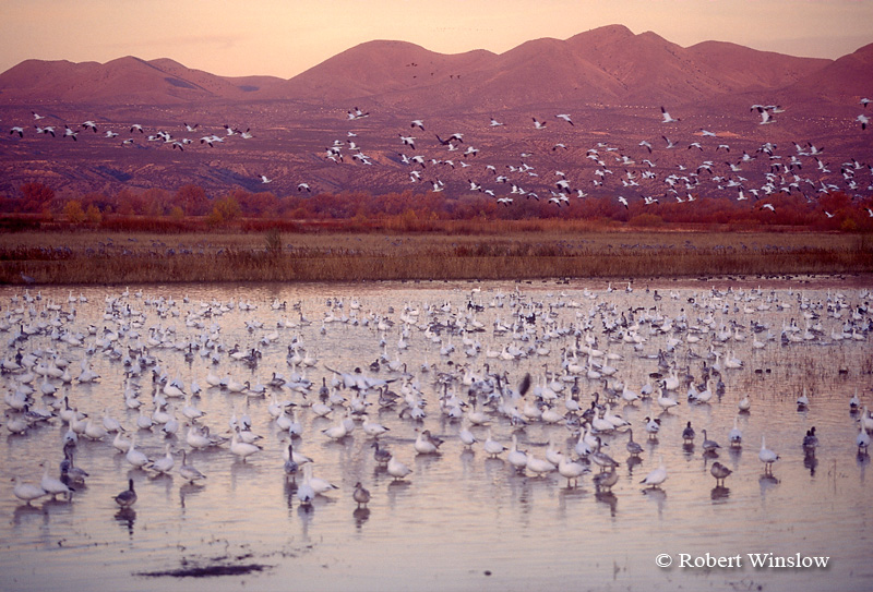 Snow Geese(Chen caerulescens) at Sunrise, Bosque del Apache National Wildlife Refuge, New Mexico, USA, North America