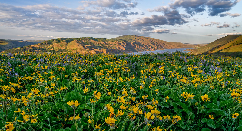Wildflowers Above Columbia River