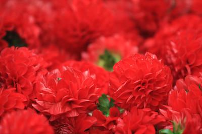 Bloemencorso 2011 - De bloemen staan klaar