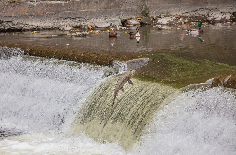 salmon upstream (10 of 48).jpg