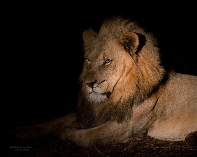 African Lion, Madikwe GR (Imp), SA, Sept 2015-2.jpg