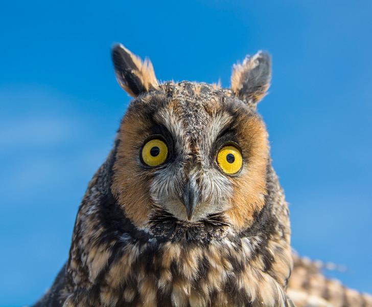 Owls_Horned-5.jpg