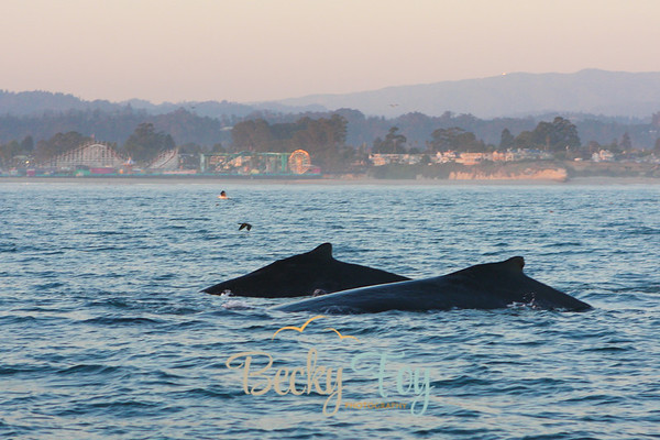 Humpbacks in Santa Cruz - Friday, Oct. 28, 2011
