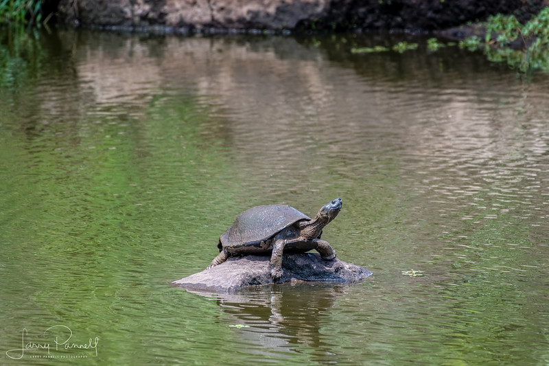 Serrated Hinged Terrapin - pond