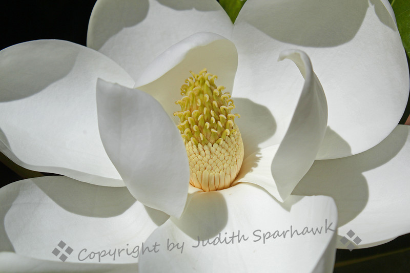 Magnolia Close-up ~ This beautiful magnolia blossom was about ten inches across, and was just begging for its picture to be taken.