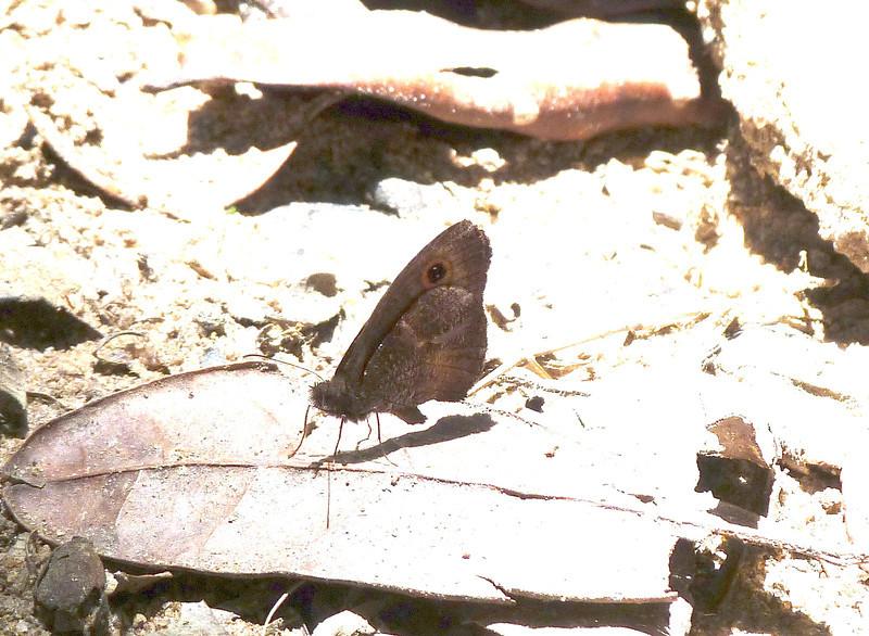 HPUnidBflynrSwampRingletYpth-116 Nov. 10, 2010  10:46 a.m.  P1000116 Unidentified butterfly, somewhat nr swamp ringlet, Ypthimomorpha itonia.   Ranomafana, Vohiparara Trail.