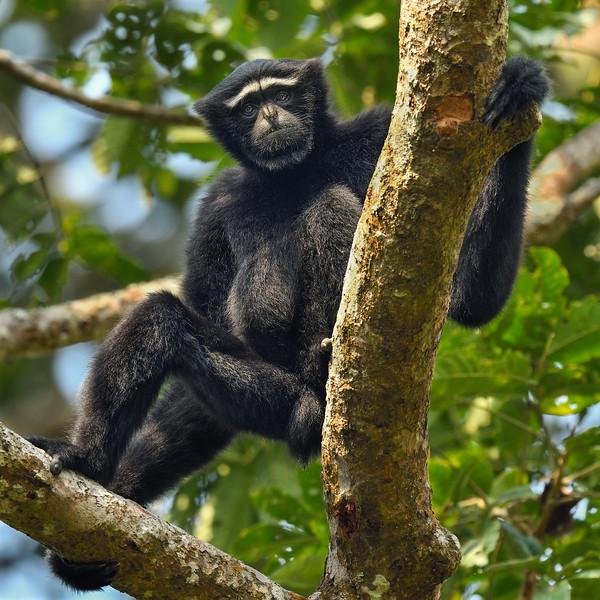 Hoolock-Gibbon-portrait.jpg