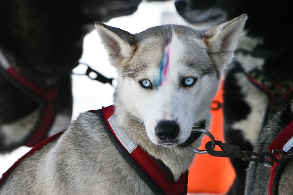 Kinross Sled Dog Race 2009 Upper Peninsula Michigan