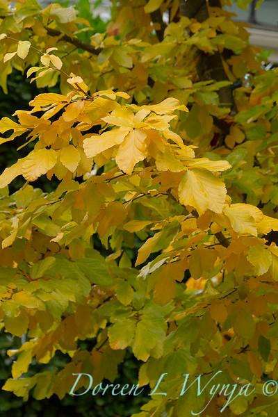 Parrotia persica_003.jpg
