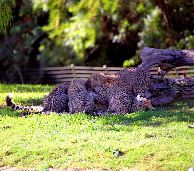 Cheetah cubs 1.jpg