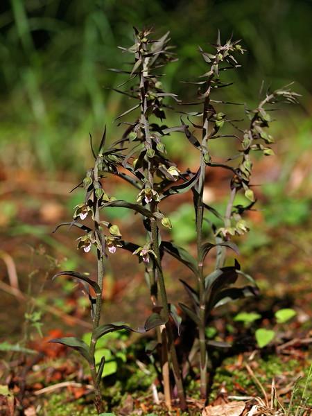 E. purpurata Kuttenberg Eschweiler 03-08-15 (24).jpg