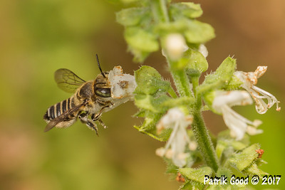 Back-raising Leafcutter Bee
