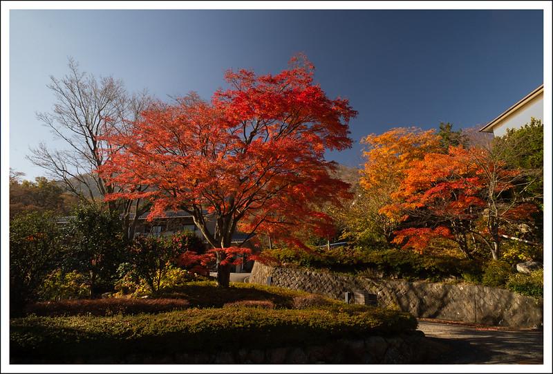 The maple tree across the street.