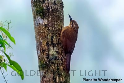 Planalto Woodcreeper, Trilha dos Tucanos, Brazil
