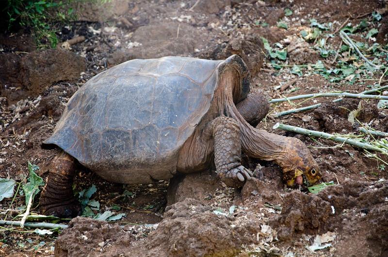 Tortoise on Santa Cruz, Darwin Research Center