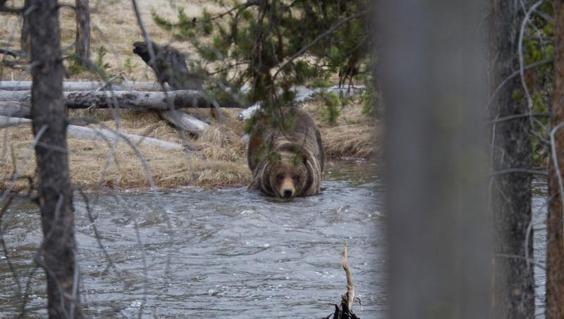 Grizzly bear boar male Yellowstone National Park WY IMG_0349.jpg