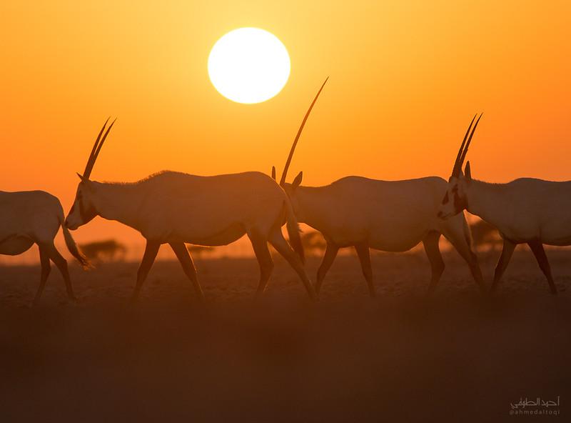 Arabian Oryx (22).jpg