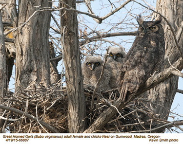 Great Horned Owls F&N66887 .jpg