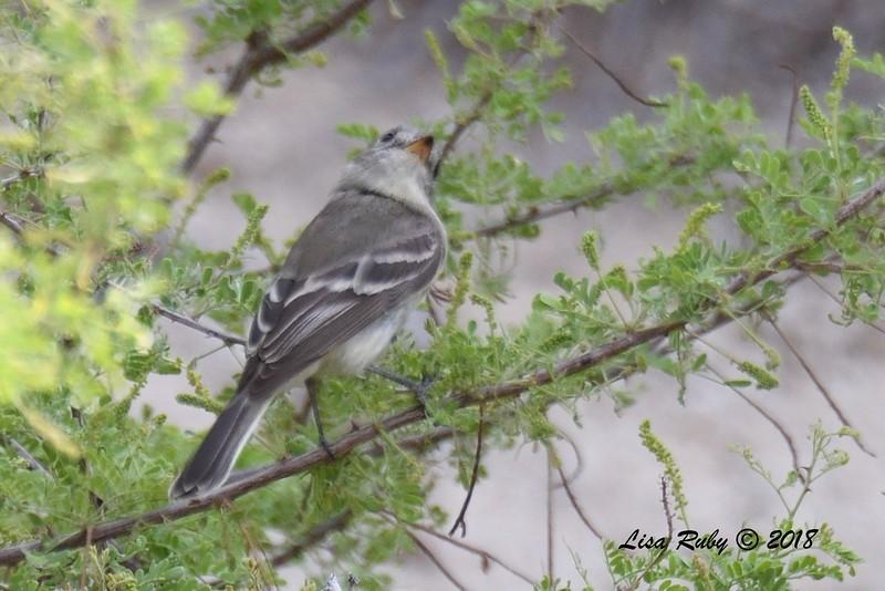 Gray Flycatcher   - 4/15/2018 - Agua Caliente County Park Marsh Trail