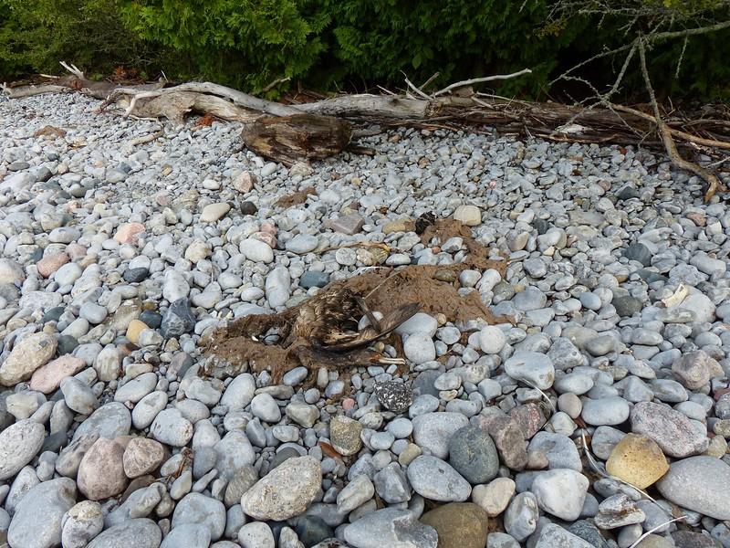 Double-crested Cormorant - carcass