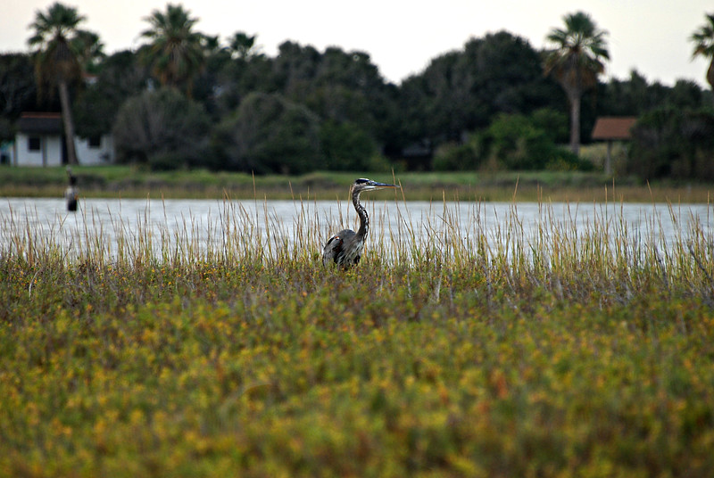 Great Blue Heron, TX