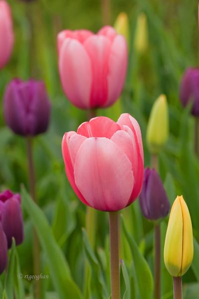 Tulip Garden_April 20_1903.jpg