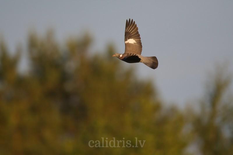 Wood pigeon in flight / Lauku balodis lidojum?