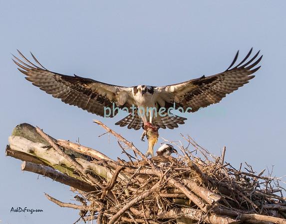 Osprey Birds